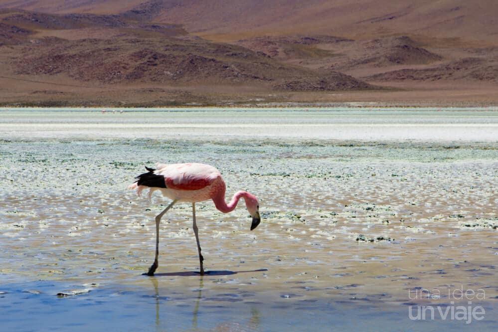 San Pedro de Atacama, flamenco rosa
