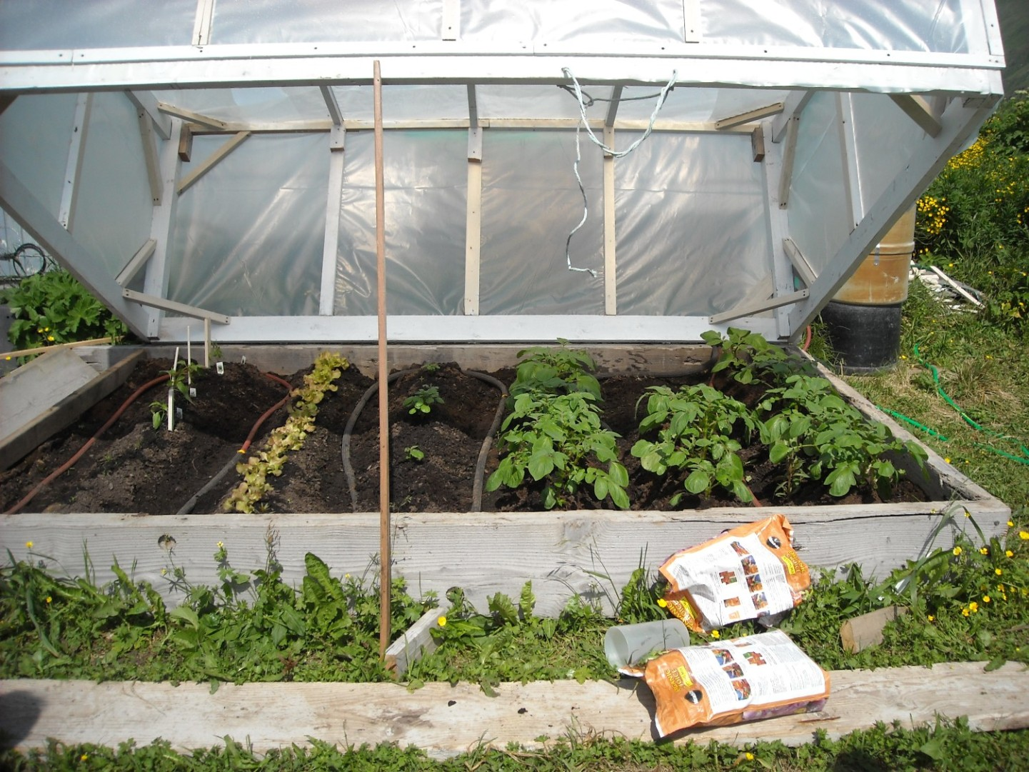 Potato rows, lettuce, green peppers, and carrots.