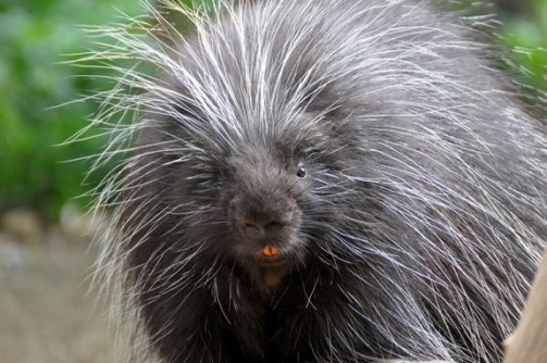 Photo of a slightly angry looking porcupine
