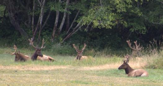 Elk Beding Down