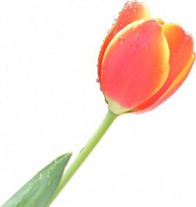 Tulip_single