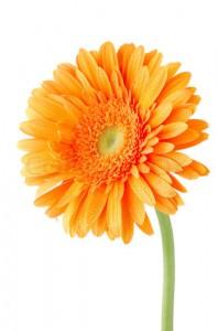 Orange gerbera daisy flower