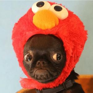 Tickle Me Elmo Pug