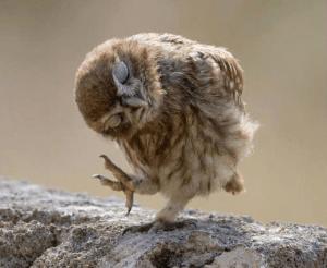 polite owl
