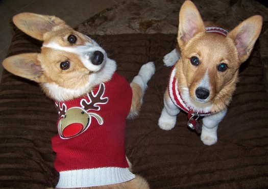 corgi-christmas-costume-3
