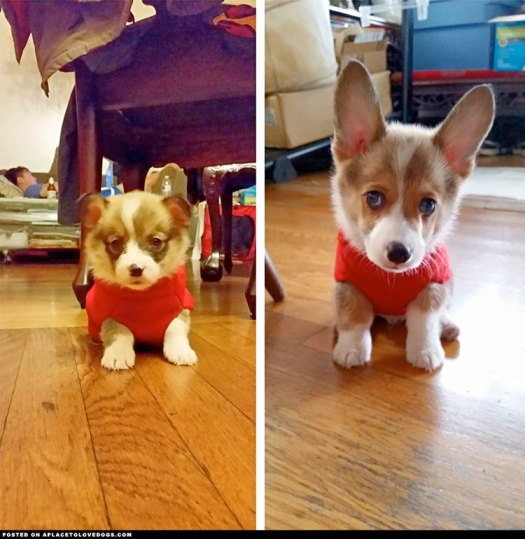corgi-still-fits-sweater