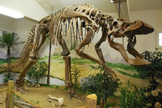 Duckbilled dinosaur skeleton