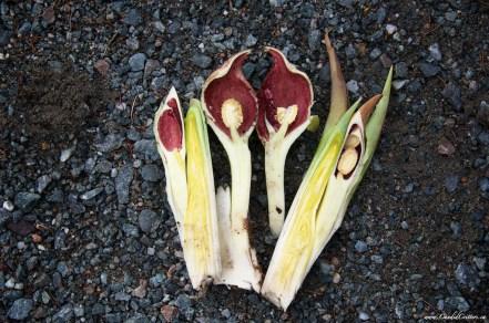 Symplocarpus foetidus Skunk cabbage