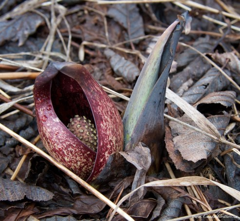 Symplocarpus foetidus Skunk cabbage Hammond River, NB