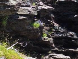 Harebell (Campanula rotundifolia)