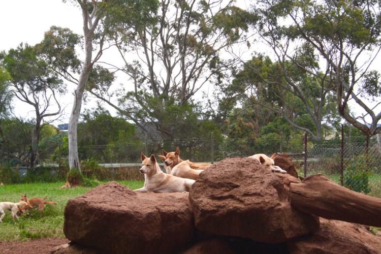 Dingo Seinfeld Phillip Island Wildlife Park.jpg