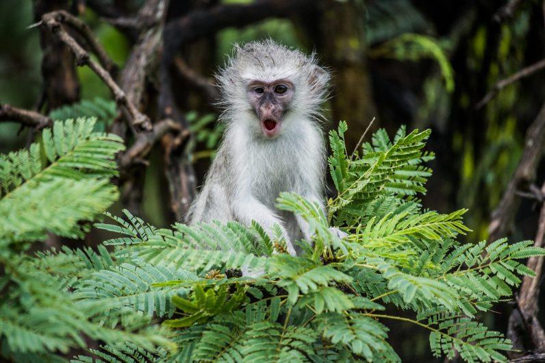 A vervet monkey