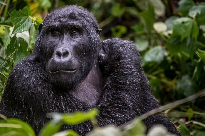 A wild but habituated gorilla in Bwindi Impenetrable forest.