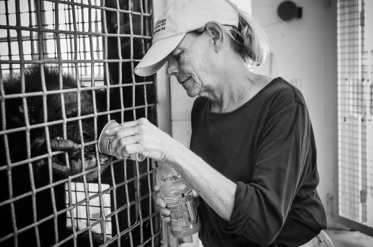 Dr. Carole Noon providing a drink to a rescued chimpanzee at Save The Chimps Sanctuary in Fort Pierce, Florida. USA, 2008.