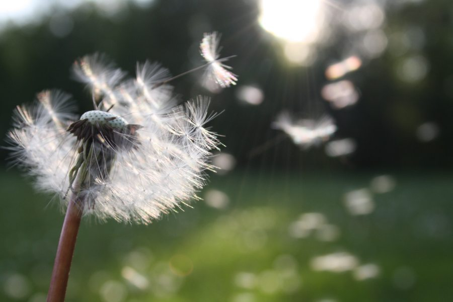 Wishing on a dandelion