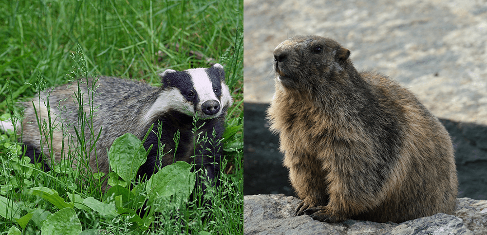 European badger and the Groundhog