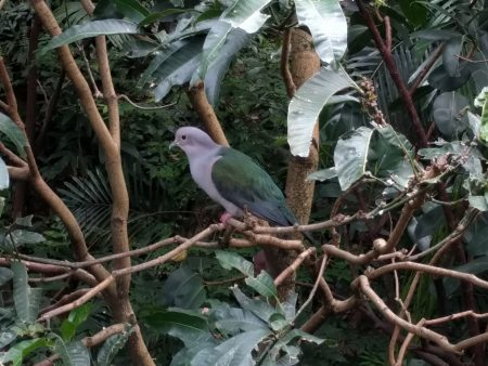 purple-tailed imperial-pigeon 2