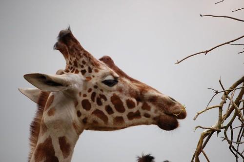 giraffe nibbling