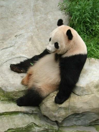 panda bear 1