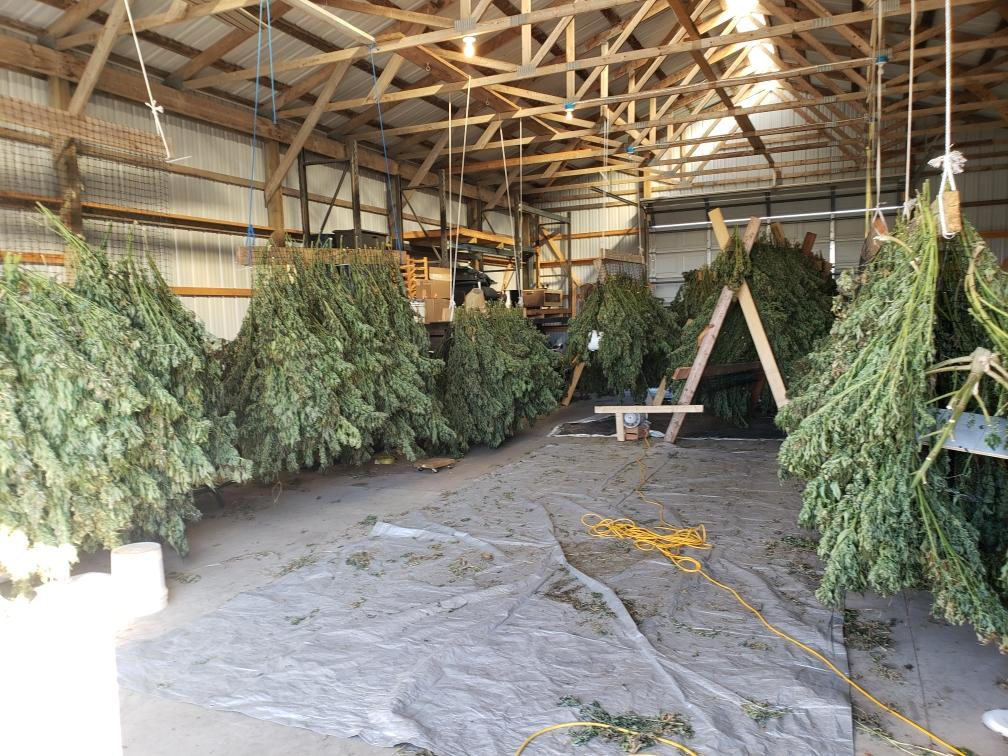 Drying and Processing CBD