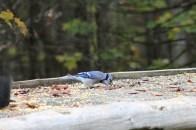 L'oiseau bleu, dit : «geai bleu» passe son temps à se nourrir de graine de ratons laveurs.