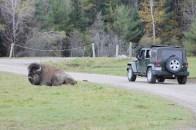 Un bison est parfois aussi gros qu'une jeep.