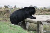 L'ours prend son petit déjeuner. Ce sont des Miel Pops !