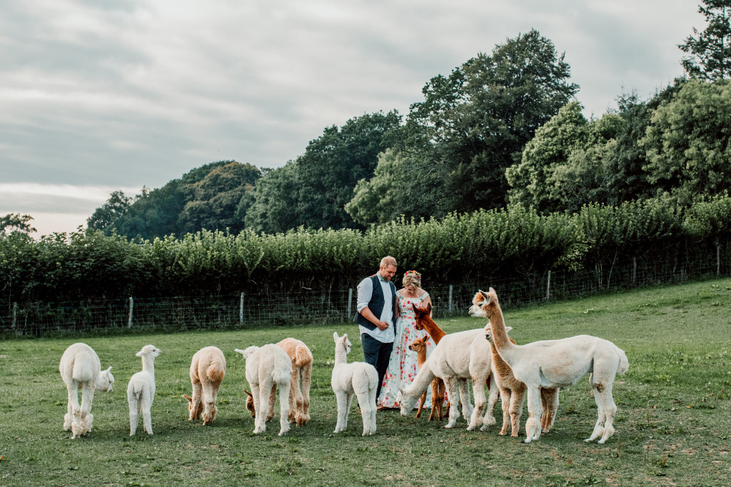 Alpaca Yurt Wedding- Alpacas