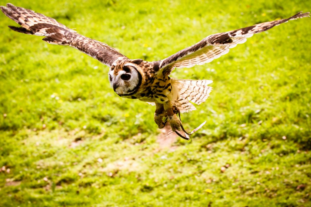 Owl in flight - Wedding Owl- Unconventional Wedding- Harry Potter Wedding - Lumiere Photography