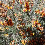 Castlemaine to Maldon Trail - orange wildflowers in the understory