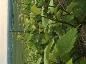 Verzenay pinot noir vineyards-Montagne de Reims
