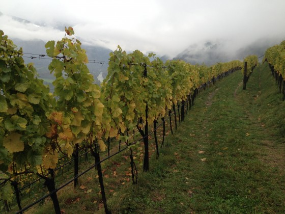 grassy vineyard