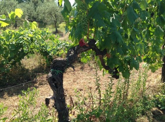 old vines + olive trees