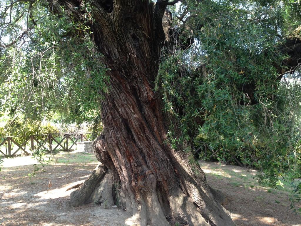 giant olive