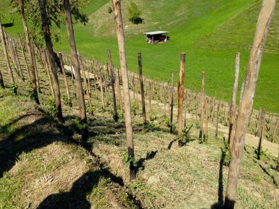 new vines