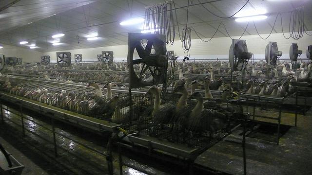 Élevage d'oie pour le foie gras, L214, article végane pour les animaux