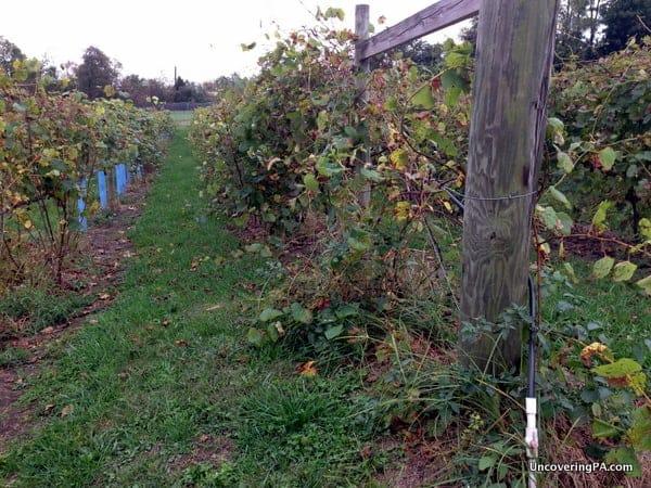 The vineyard at the Vineyard at Hershey.