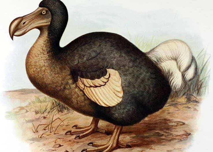 Dodo Bird (Creative Commons: Wikimedia.org)