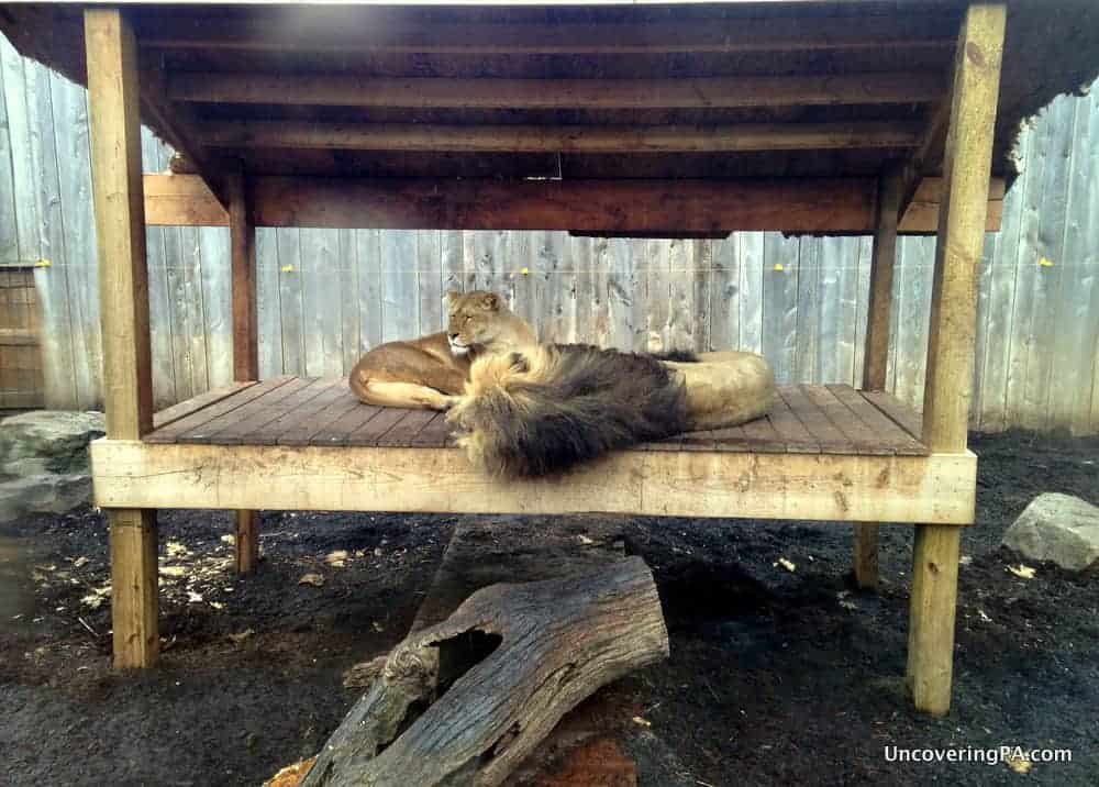 Barbary Lions rest at the Living Treasures Wild Animal Park in the Laurel Highlands.