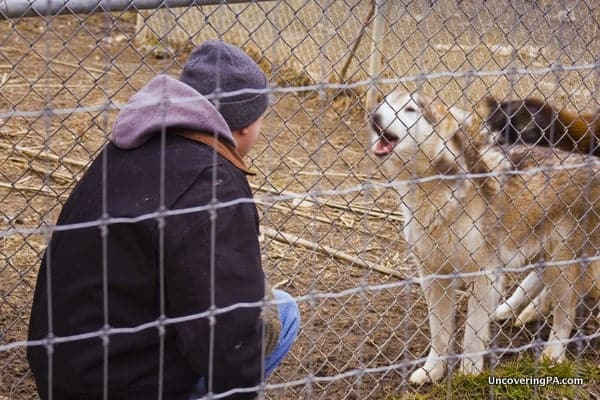 Touring the Wolf Sanctuary of PA in Lancaster County, Pennsylvania.
