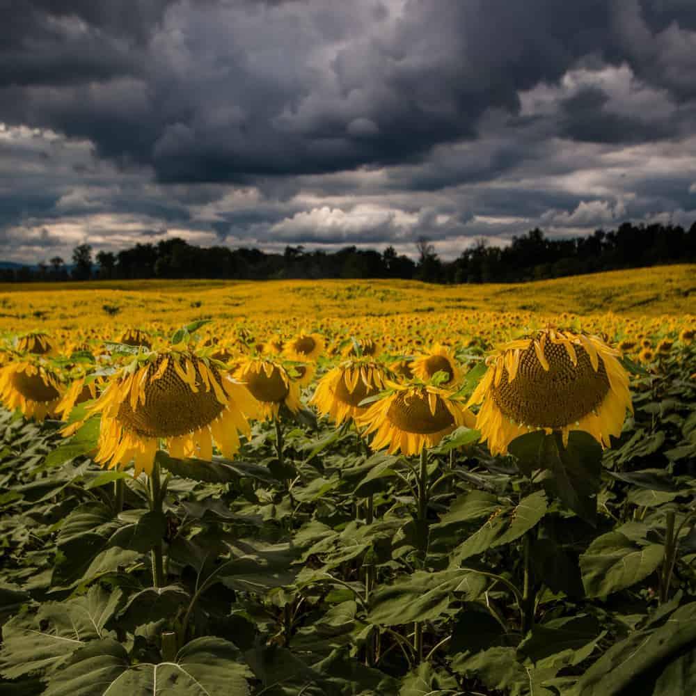 sunflower fields 2 by - photo #48
