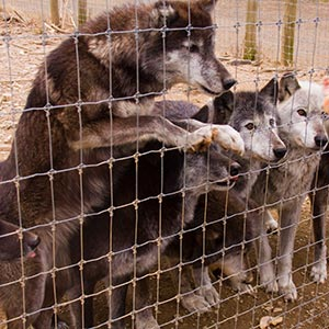 Wolf Sanctuary of PA - Guide to Lancaster County, PA