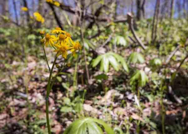Spring wildflowers in Raccoon Creek State Park