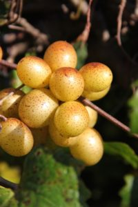 The official North Carolina state fruit--the thick-hulled scuppernong.