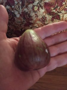 A pound fig grown by Ocracoke florist Chester Lynn.
