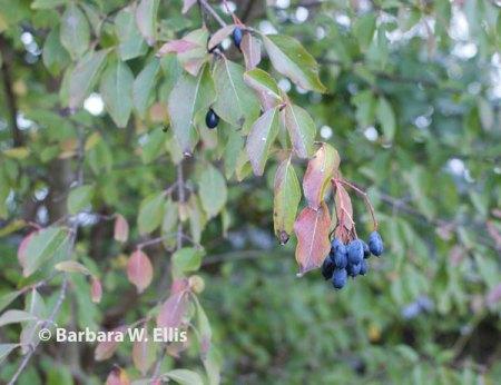 Viburnum-prunifolium-fruit