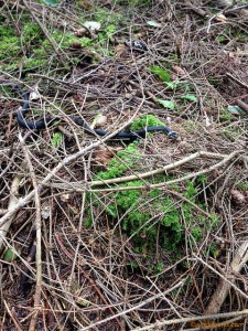 Non-venomous Grass Snake / Ringed Snake / Water Snake (Natrix natrix).