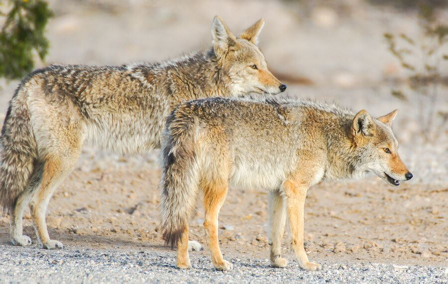 Choosing the right Coyote decoy