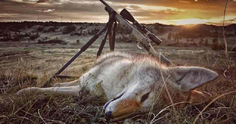 pros and cons of coyote decoys