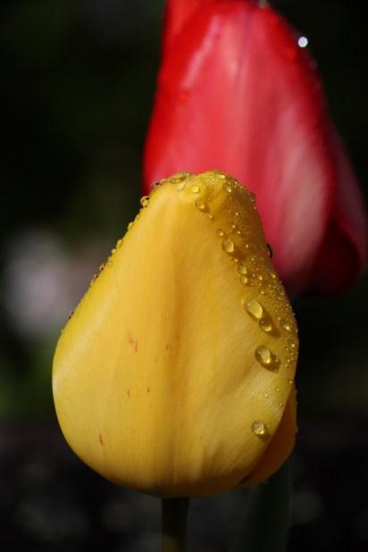 Raindrops on tulips
